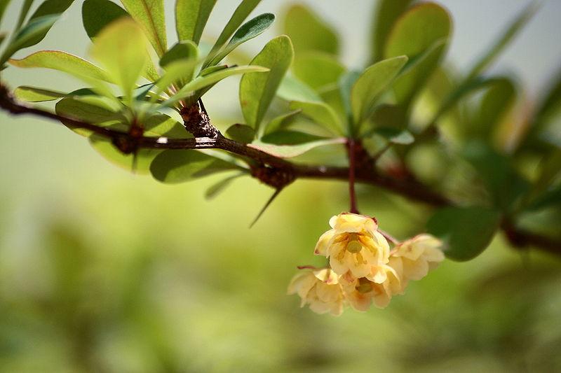 japán borbolya