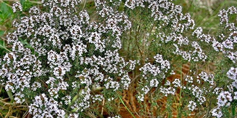 kerti kakukkfű