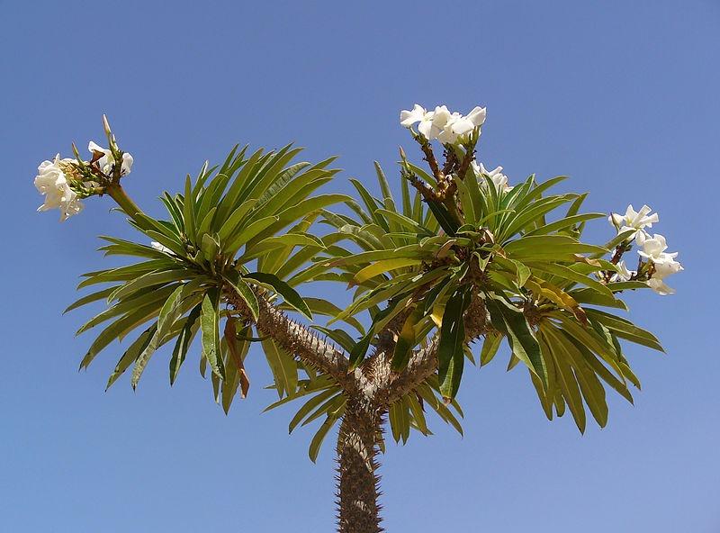madagaszkári gumólábfa