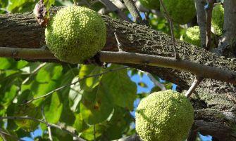 narancseper