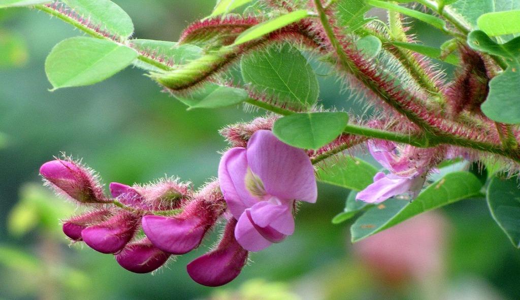 rózsás akác