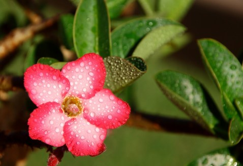 sivatagi rózsa