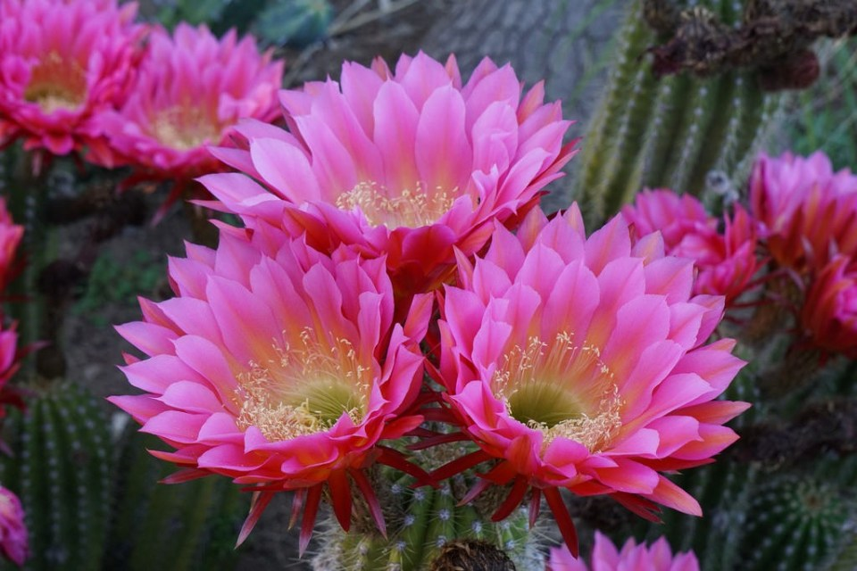 tengerisün kaktusz