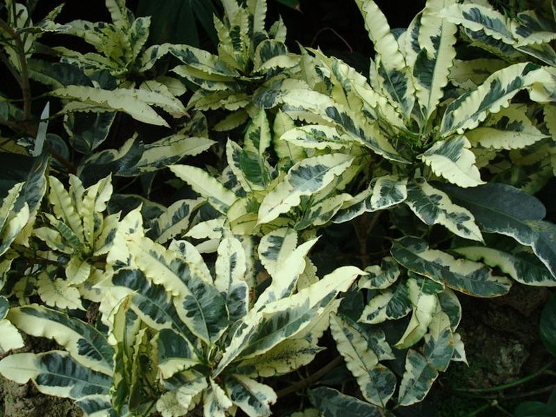 Codiaeum variegatum 'Andrew'