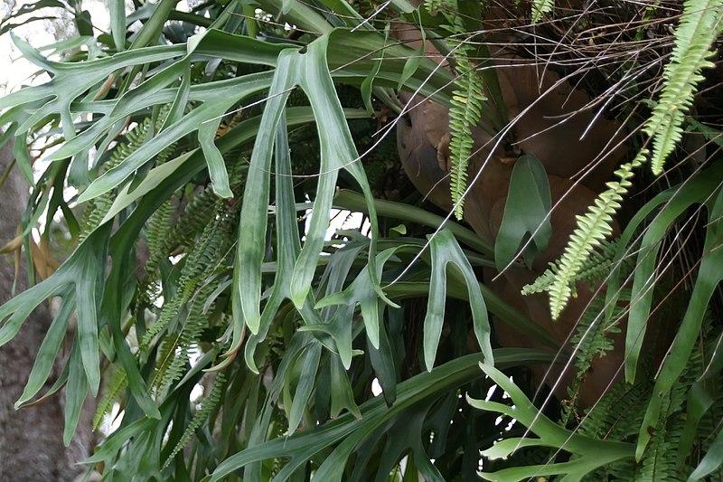 szarvasagancs páfrány