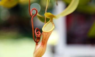 Kancsóka (Nepenthes sp.)