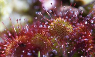 Kereklevelű harmatfű (Drosera rotundifolia)