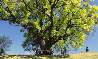 A szebényi Nagy fa
