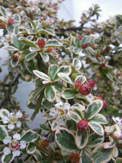 Cotoneaster × suecicus 'Juliette'