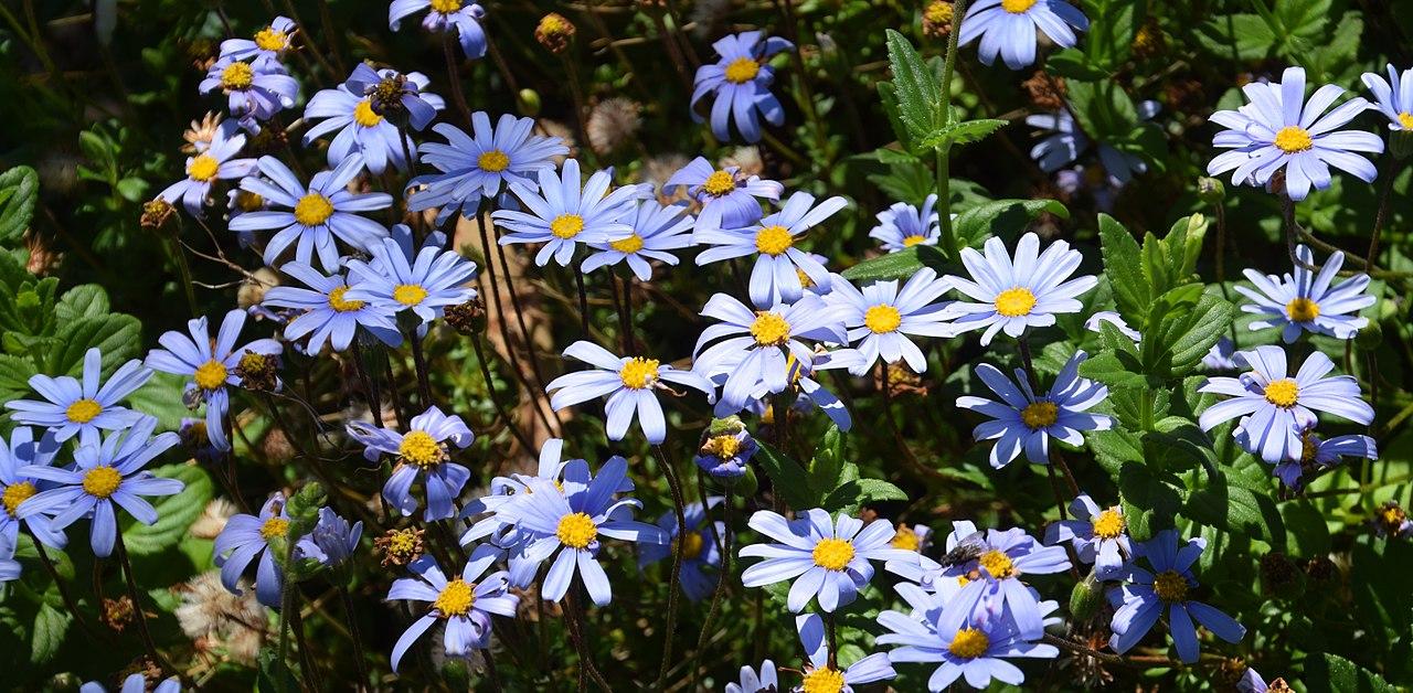 fokföldi kékmargitvirág