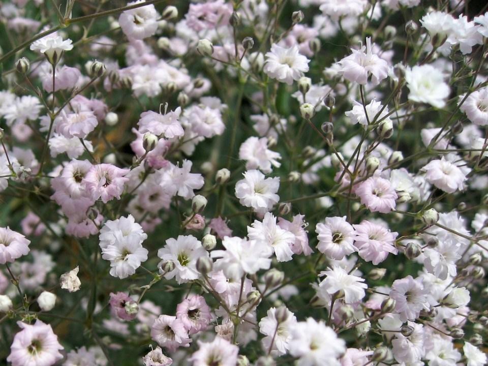 rózsás fátyolvirág