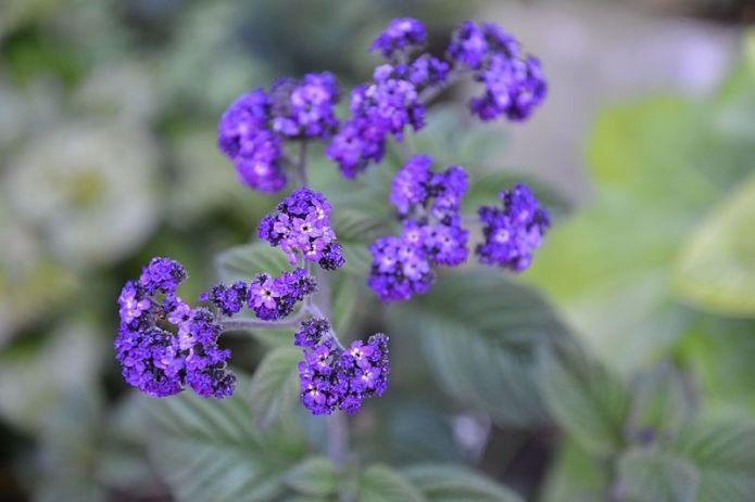vaníliavirág
