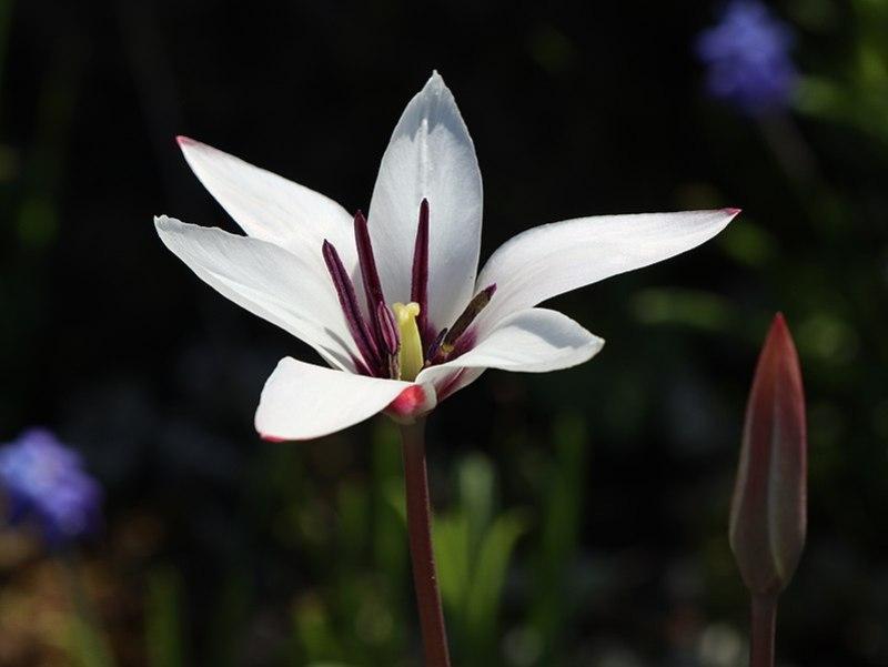 clusius-tulipán