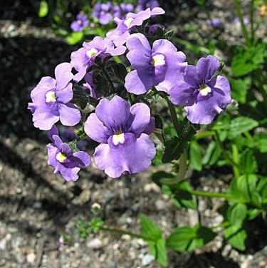 kék vörösbegyvirág