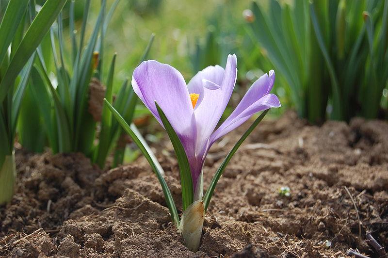 tavaszi sáfrány