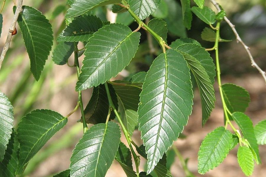 turkesztáni szil levele