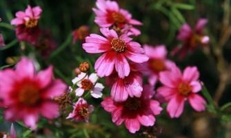Coreopsis rosea 'Heavens Gate'