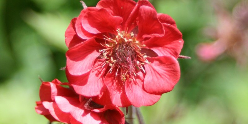 Geum rivale 'Flames of Passion'