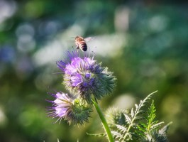 méh a virágon