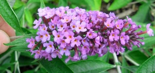 Buddleia flutterby T. 'Peace'
