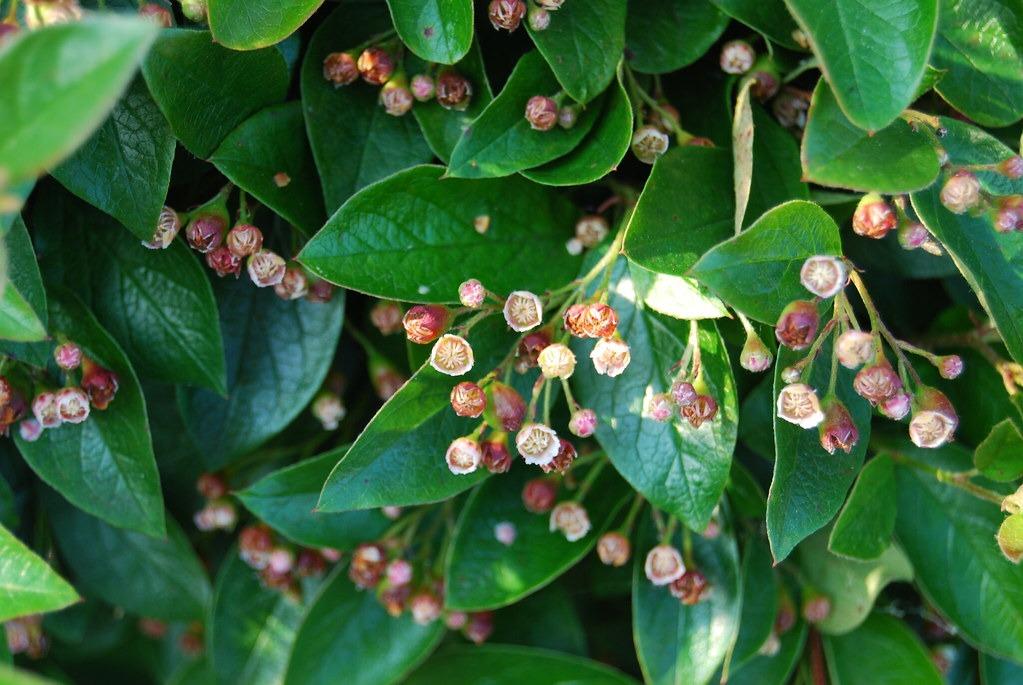 Cotoneaster 'Lucidus'