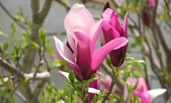 Magnolia liliflora 'Nigra'