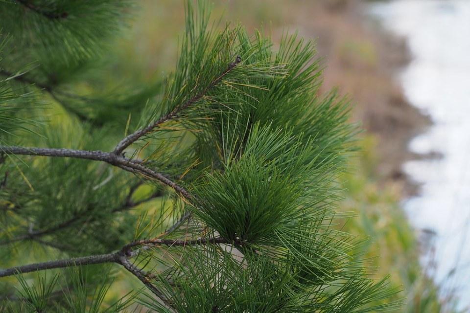Pinus densiflora