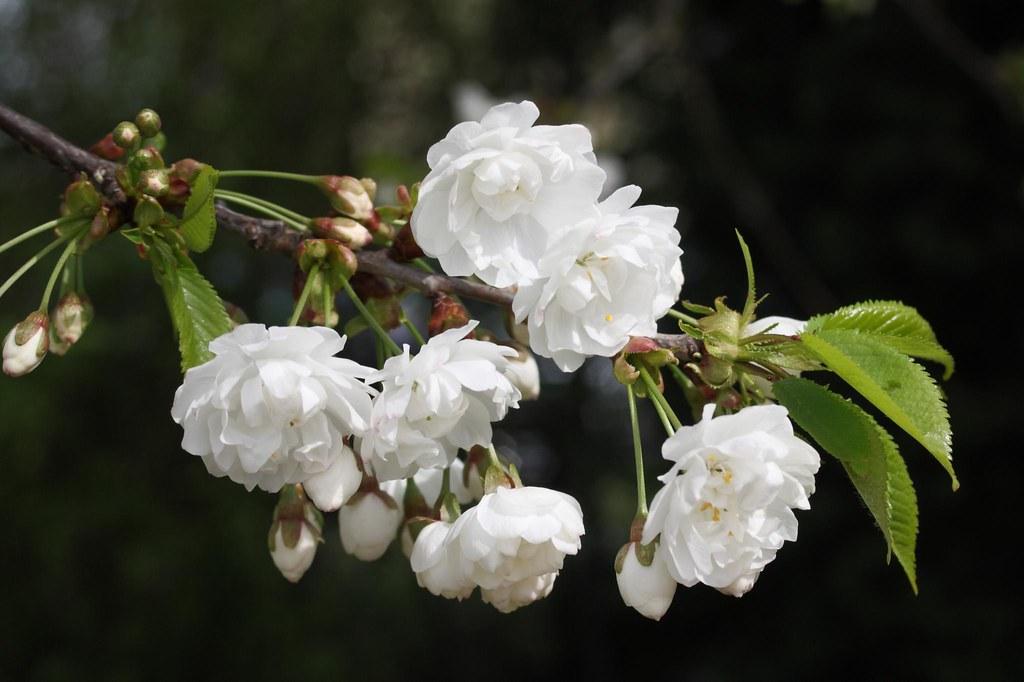 Prunus avium 'Plena'
