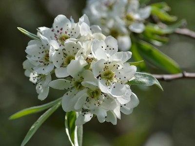 Pyrus salicifolia