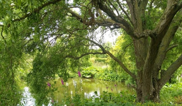Tree dipping into pond