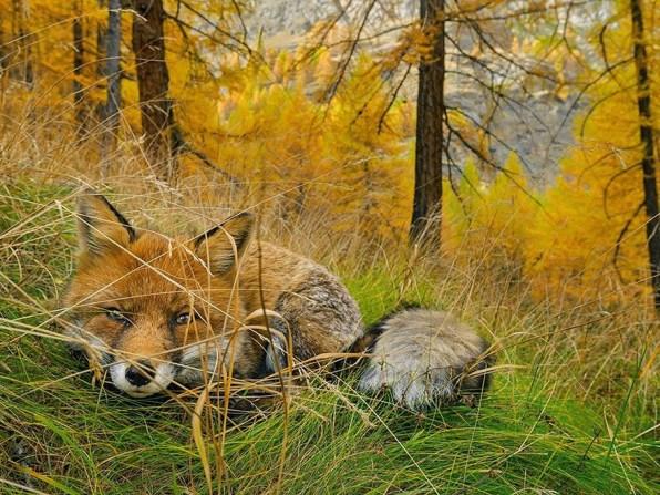 10. Lisica, nacionalni park Gran Paradiso, Italija