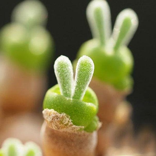 Najbolj prikupni kaktus na svetu.