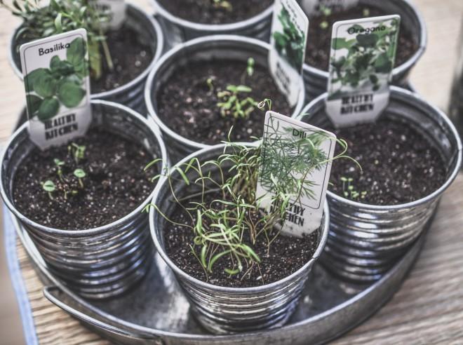 Kako vzgojiti zelišca v lončkih?