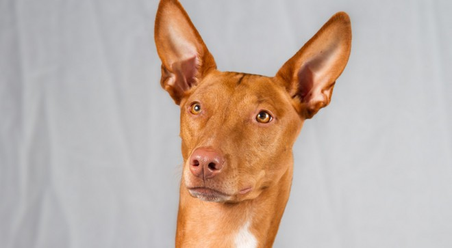 Faraonski pes