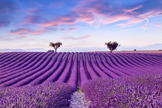 Polja sivke, Francija
