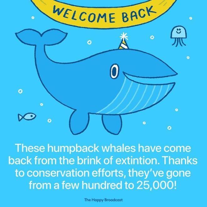 Zahvaljujoč prizadevanjem, da se vrsta kita grbavca ohrani, je njihovo število skokovito naraslo.
