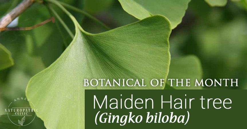 Gingko biloba benefits | Annex Naturopathic Clinic | Toronto Naturopathic Doctors
