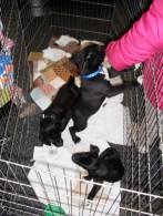 bdr puppies 1211