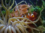 clownfish-and-anemone