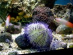purple-urchin-and-firefish