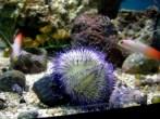 purple-urchin-and-firefish