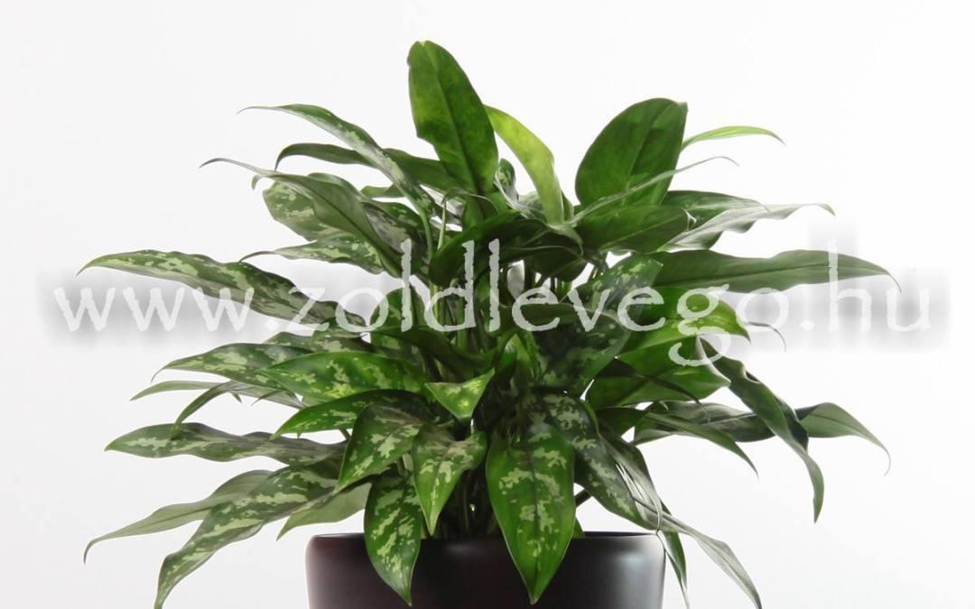 Aglaonema modestum – Rákvirág