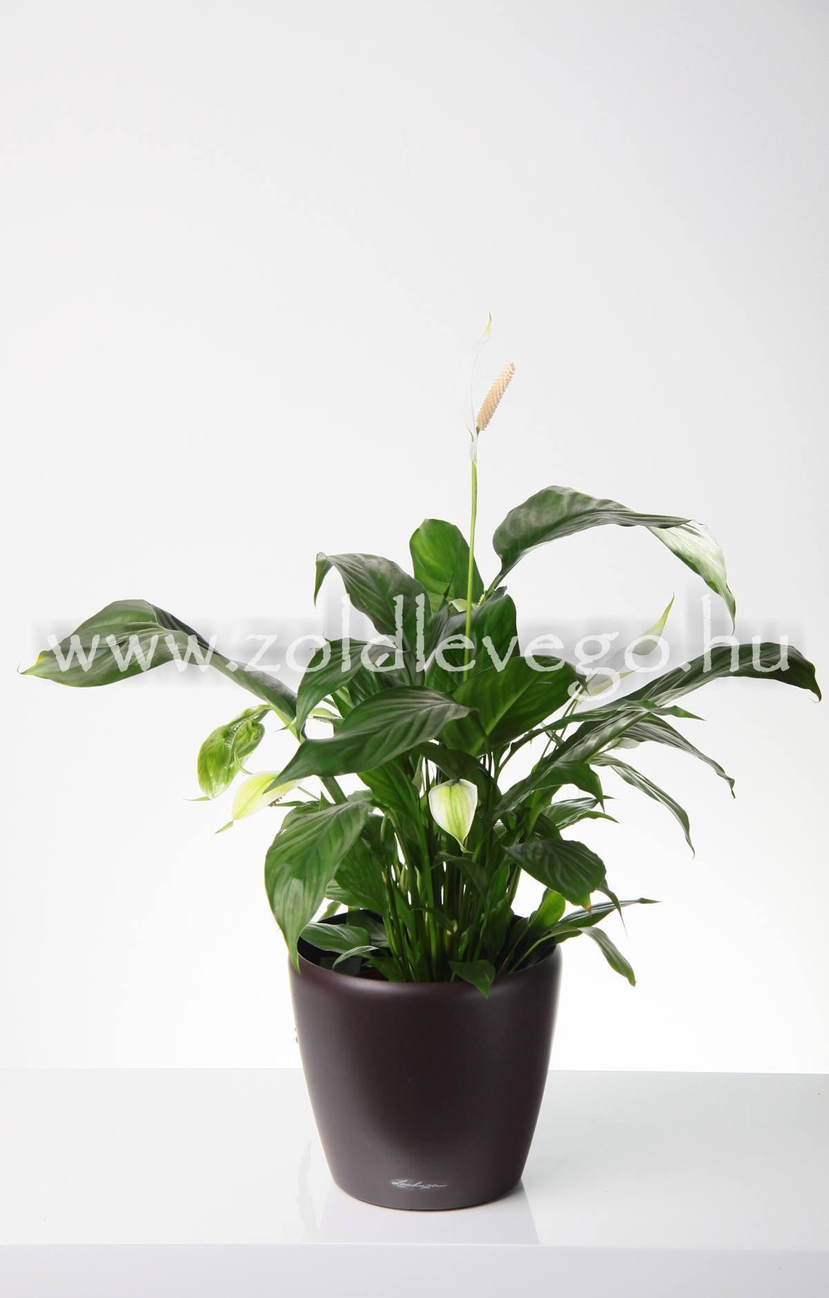 Spatiphyllum spp