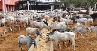 31 cows allegedly missing in police custody in Kaduna