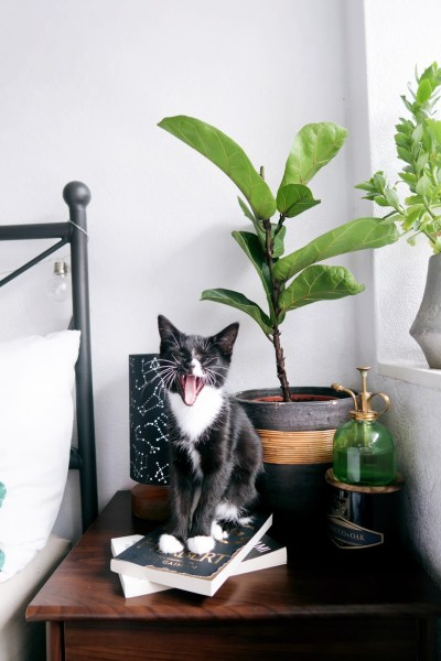 How to prune (& propagate) a fiddle leaf fig