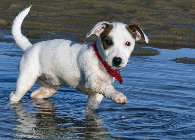 1024px-Jack_Russell_Puppy