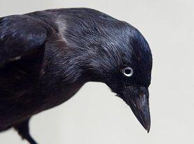crow-1894690__340
