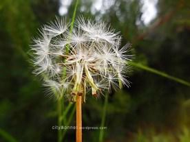 dandelionwhite