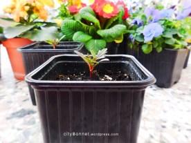 marigoldsprouts2