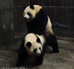 panda csc4